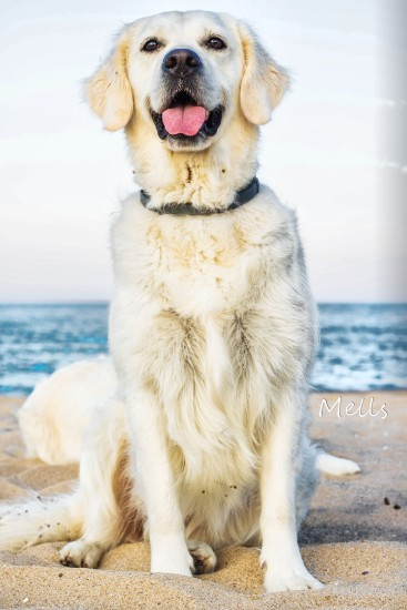 golden retriever dog beach sand