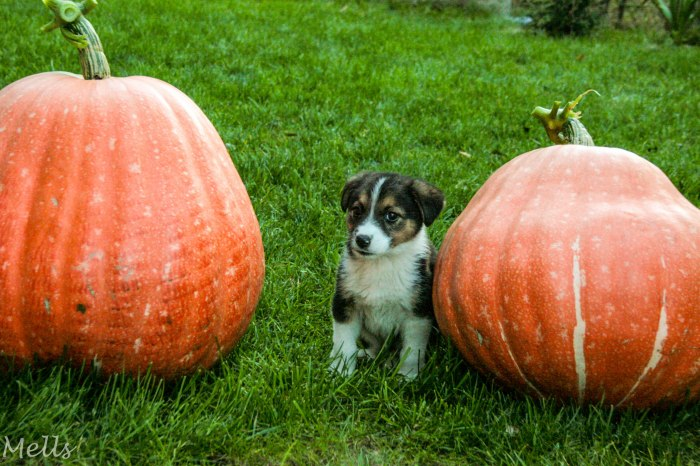 Puppy and giant pumpkin autumn