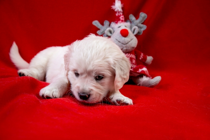 golden retriever goldmell kennel puppy christmas tag toy