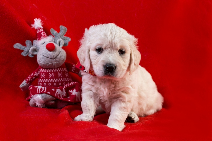 golden retriever goldmell kennel puppy christmas tag red raindeer toy