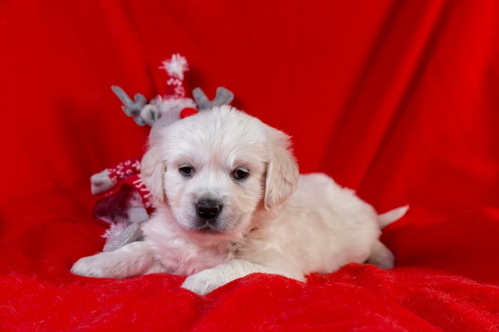 golden retriever goldmell kennel puppy christmas tag