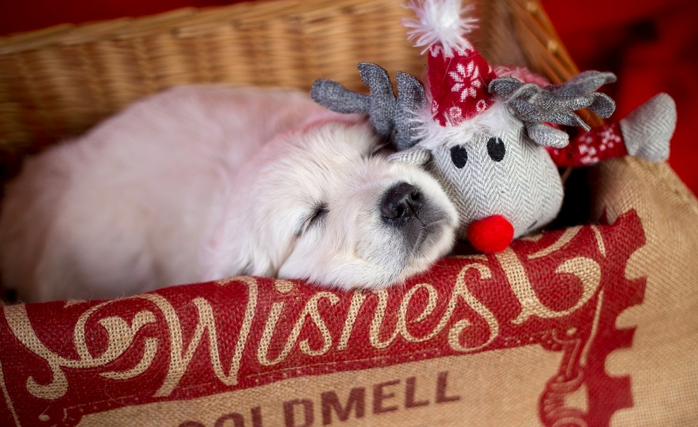 Christmas tag golden retriever sleeping puppy
