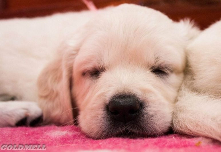 puppy how much it costs pedigree kennel golden retriever