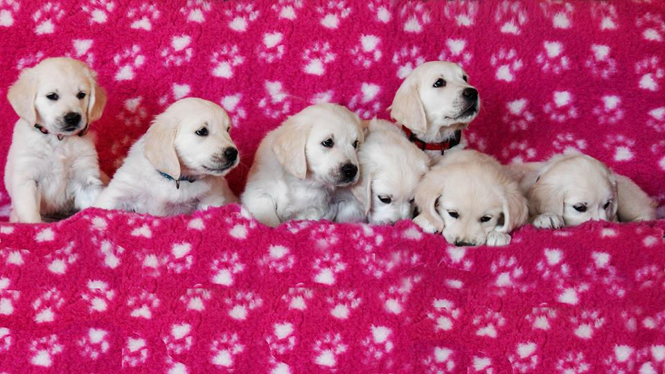 puppy how much it costs pedigree kennel golden retriever goldmell kennel